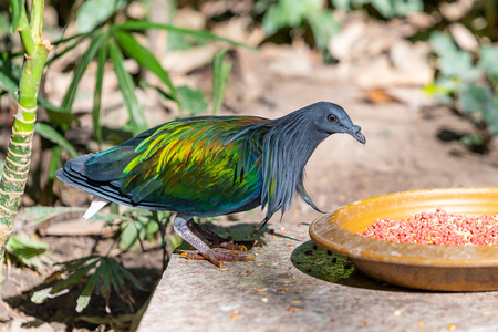 A colorful Nicobar Pigeon standing near a feeding plate in a zoo Stock Photo