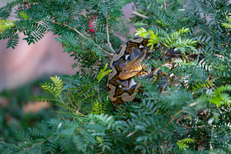 Colorful Asian rock python curling itself up on the tree top Banque d'images - 116921586