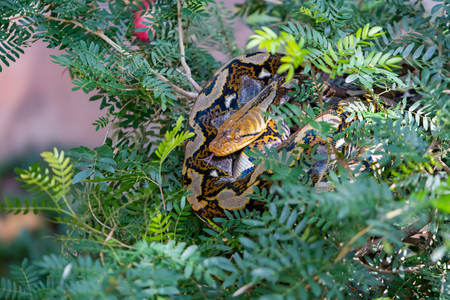 Colorful Asian rock python sticking tongue out while curling itself up on the tree top Banque d'images - 116921587