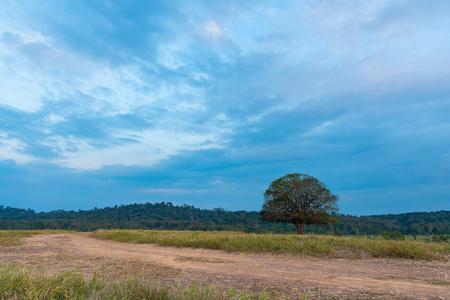 Single Aporosa villosa symbolic tree growing in the grassland of Tung Gamung, Chaiyaphum, Thailand