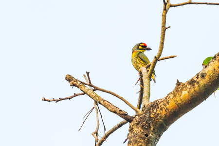 Coppersmith Barbet perching on Bo tree