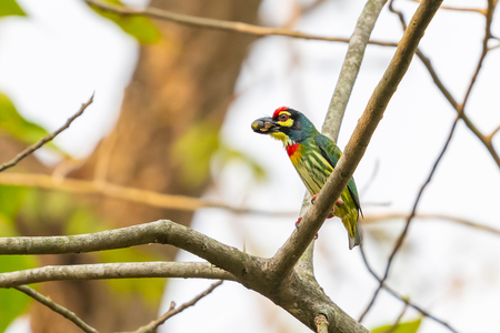 Coppersmith Barbet perching on Bo tree with mouthful of food Stok Fotoğraf