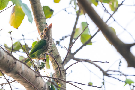 Lineated Barbet  perching on Bo tree perch Stok Fotoğraf