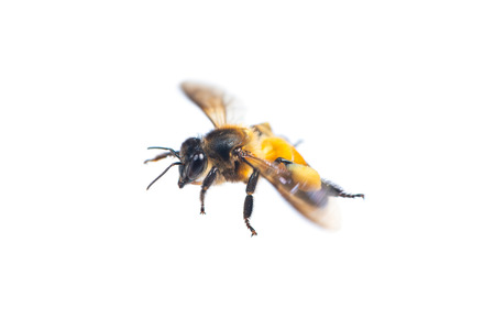 A close up of flying bee isolated on white background 免版税图像 - 120785145