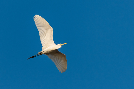Flying Great Egret with blue sky as background Imagens