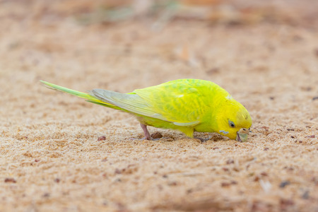 Yellow shell parakeet finding food on a ground Banco de Imagens