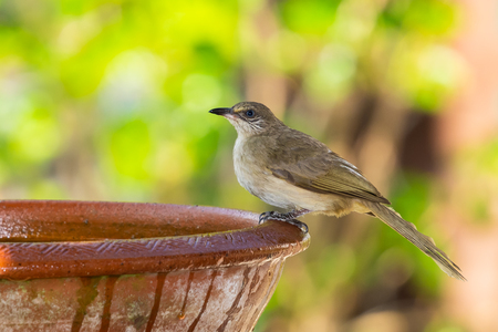 Streak-eared Bulbul isolated perching on clay bowl of water