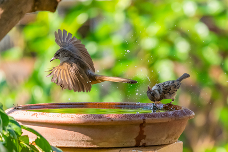 A Streak-eared Bulbul flying by a bowl of water while a sparrow spinning its head with water splashing