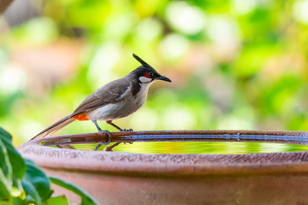 A Red-whiskered bulbul perching on a bowl of water with blurry green background of trees Banque d'images