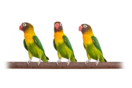 Three Yellow-collared Lovebirds perching on iron bar isolated on white background