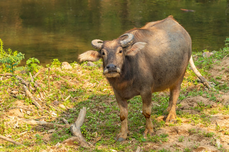 Thai Water Buffalo resting near a brook during summer