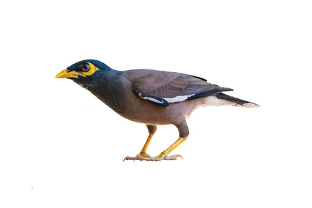Common myna isolated on white background Banco de Imagens