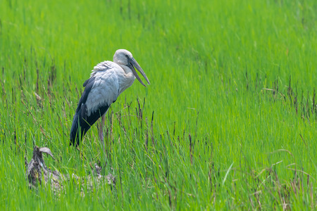 Asian openbill stork standing idle in green rice field