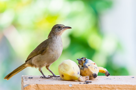 Streak-eared Bulbul feeding on banana isolated on blur green background