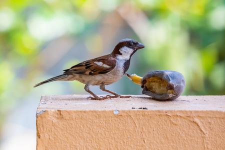 House Sparrow feeding on banana isolated on blur green background Фото со стока