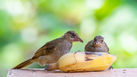 Two Streak-eared Bulbuls feeding on banana isolated on blur green bush background Фото со стока