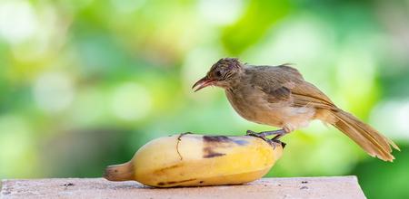 Streak-eared Bulbul feeding on banana isolated on blur green bush background