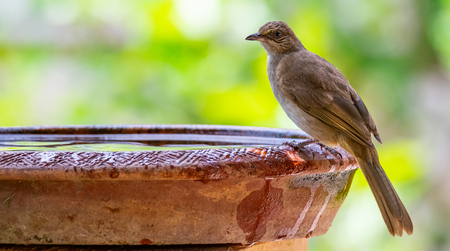 Streak-eared Bulbul perching on clay bowl of water with blur green bush background