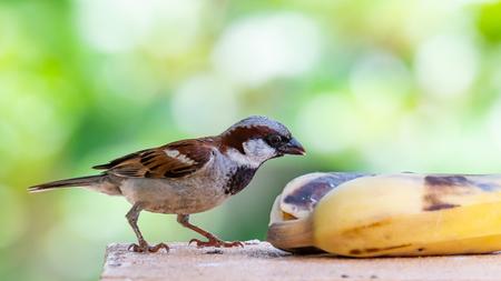 House Sparrow feeding on banana isolated on blur green bush background Фото со стока