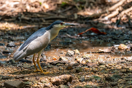 Black-crowned Night Heron wading near shallow water stream finding food