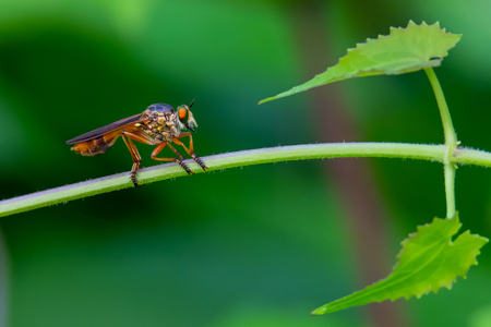 Colorful Asilidae robber fly perching on climbing plant stem Imagens