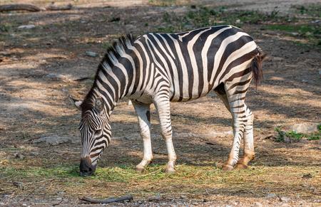 Male zebra feeding on grass in a zoo Фото со стока