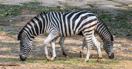 Male and female zebras feeding on grass in opposite direction Фото со стока