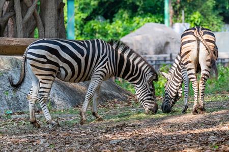Male and female zebras feeding on grass