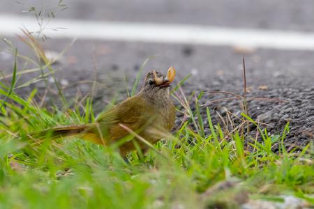 Flavescent Bulbul isolated feeding on flying termite near roadside
