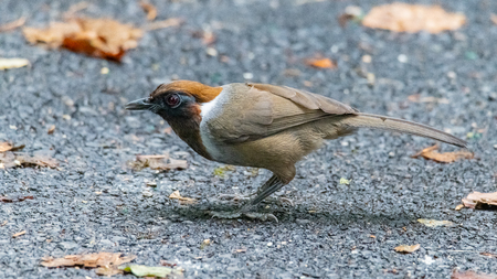 White-necked Laughingthrush perching on a road to jungle, looking straight into a distance