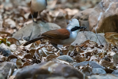 White-crested Laughingthrush feeding on little frog from little swamp Фото со стока