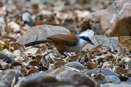 White-crested Laughingthrush finding for food in a jungle Banco de Imagens