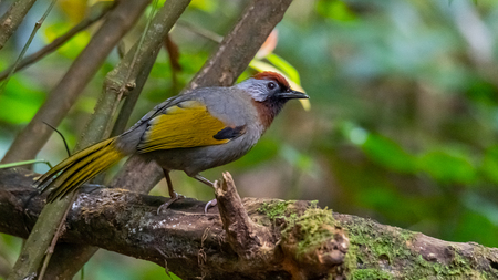 Silver-eared Laughingthrush perching on a perch in a jungle Banco de Imagens