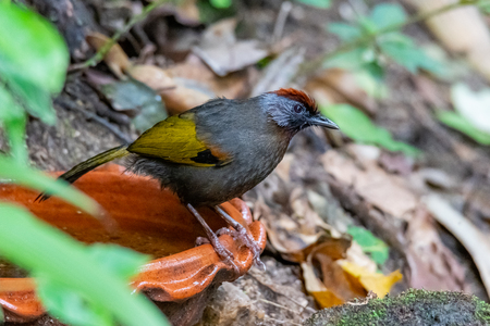 Silver-eared Laughingthrush perching on a clay bowl of water