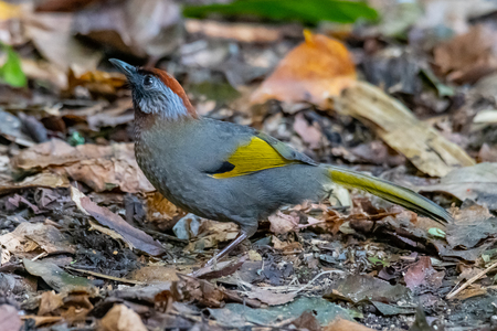 Silver-eared Laughingthrush perching on ground with dried leaves finding for insect