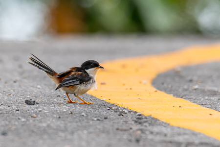 Rufous-backed Sibia perching on roadside finding flying termite before rain Imagens