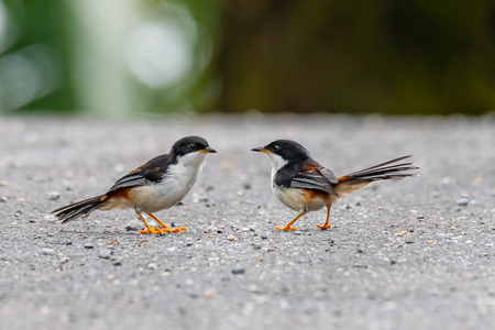 Two Rufous-backed Sibias perching on roadside finding flying termite before rain Imagens