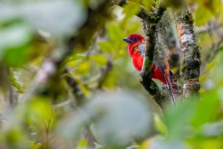 Brightful red Red-headed Trogon perching on a perch in a jungle
