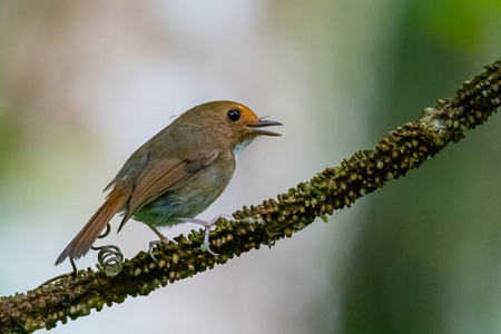 Cute and tiny Rufous-browed Flycatcher perching on a perch Banco de Imagens