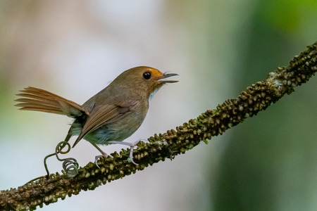 Cute and tiny Rufous-browed Flycatcher perching on a perch with tail pointing up