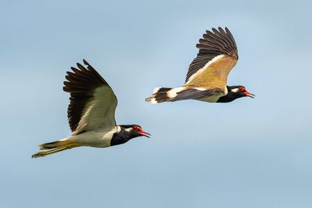 A pair of Red-Wattled Lapwing in flight with blue sky  background Imagens
