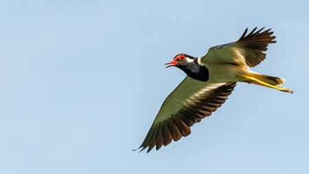 Red-Wattled Lapwing in flight with blue sky  background
