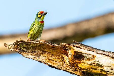 Coppersmith Barbet perching on decay perch looking into a distance Banco de Imagens