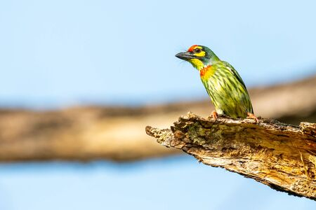 Coppersmith Barbet perching on decay perch looking into a distance 版權商用圖片