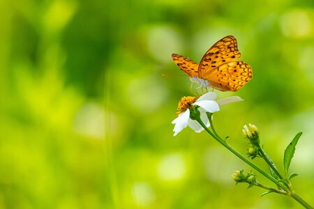 Orange brown butterfly using its probostic to drink nectar from flower
