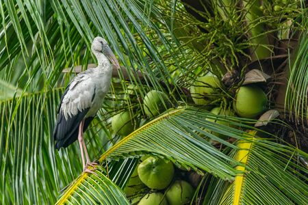 Asian openbill stork perching on coconut leaf looking into a distance