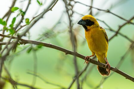 Male Asian Golden Weaver isolated perching on perch