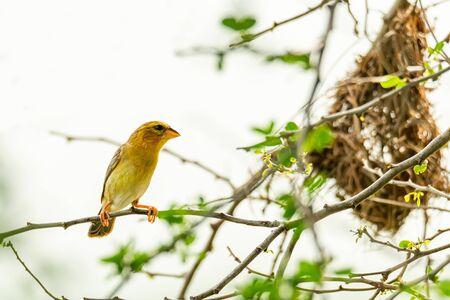 Female Asian Golden Weaver perching near its nest during spawning season Banco de Imagens