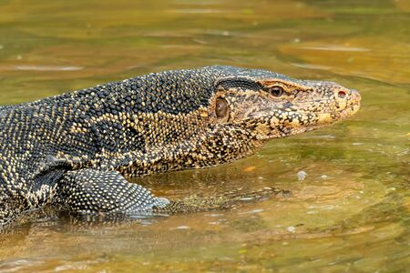 Asian water monitor lizard walking on shallow  water Reklamní fotografie