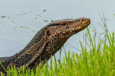 Asian water monitor lizard lifting up head on river bank Reklamní fotografie